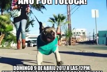 """Se reúnen para una """"caminata pug"""" en Toluca"""