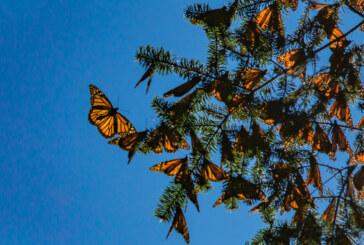 Impulsa Probosque cuidado y conservación de la reserva de la biosfera de la mariposa monarca