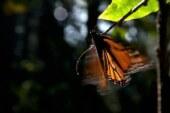 Invitan ejidatarios mexiquenses a visitar santuarios de la mariposa Monarca