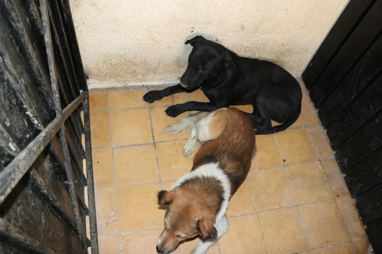 Canaliza propaem a albergue a seis caninos relacionados con deceso de una persona en Tecámac