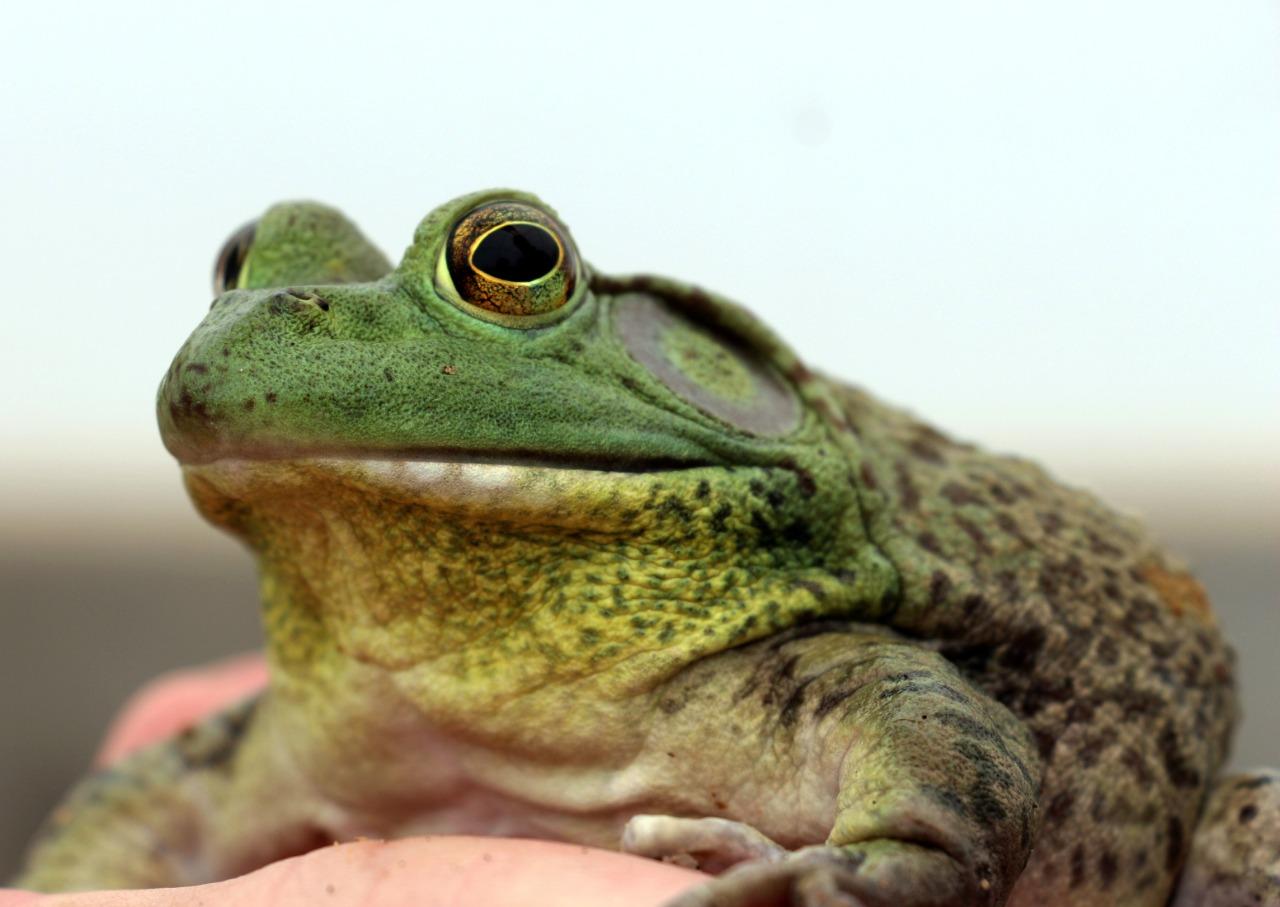 Ocupa Edoméx primer lugar en producción de rana toro entre las 15 entidades acuícolas sin litoral