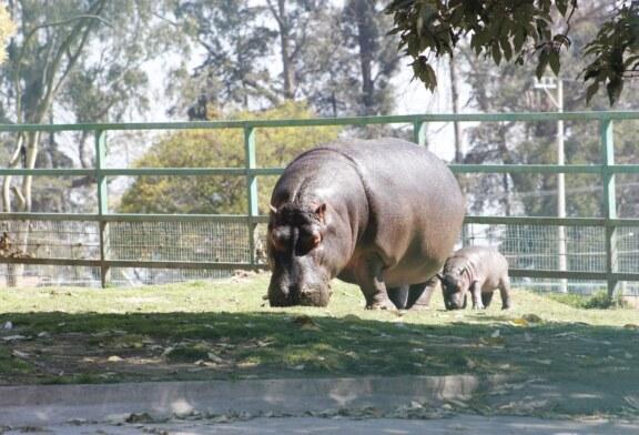 "Aumenta a 50 por ciento esperanza de vida de bebé hipopótamo en parque ecológico ""zacango"""