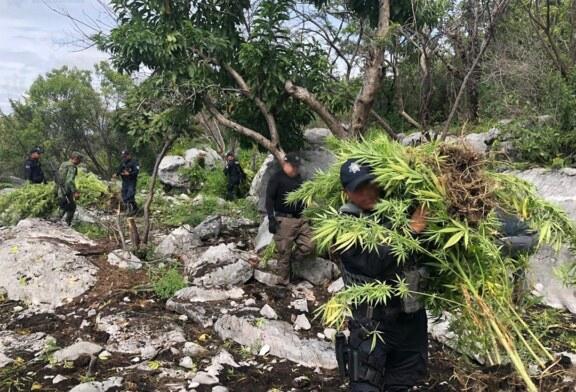 Localizan y destruyen mil metros cuadrados de plantíos de marihuana